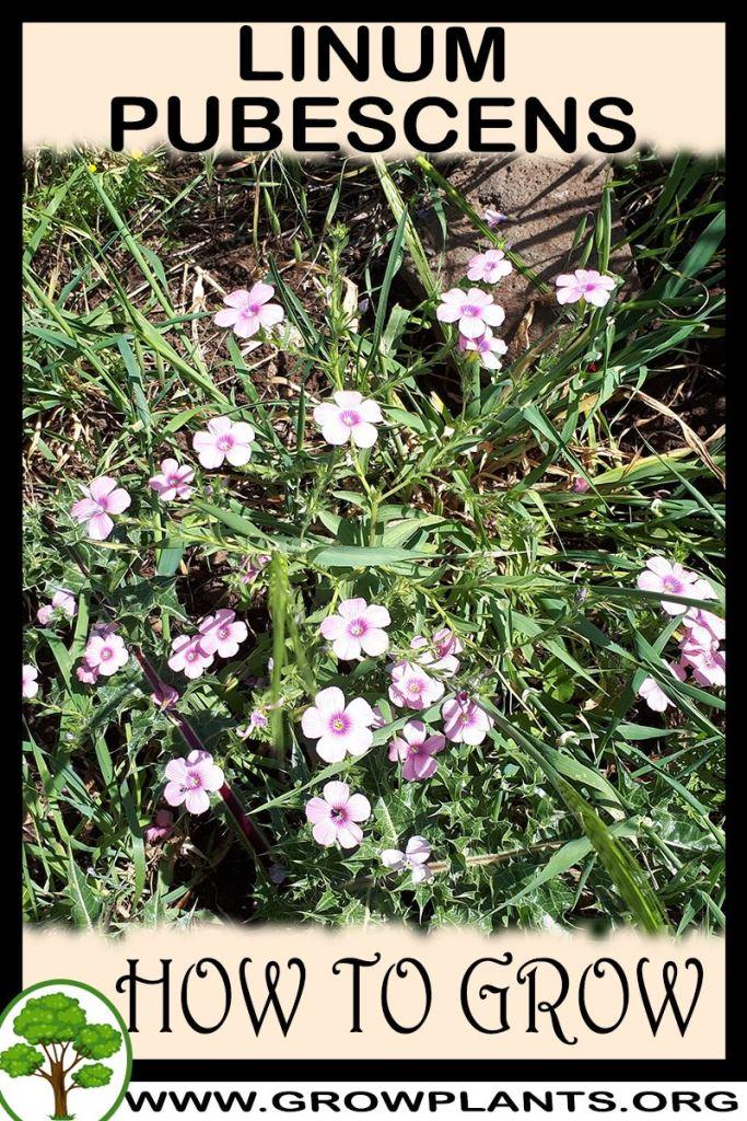 How to grow Linum pubescens