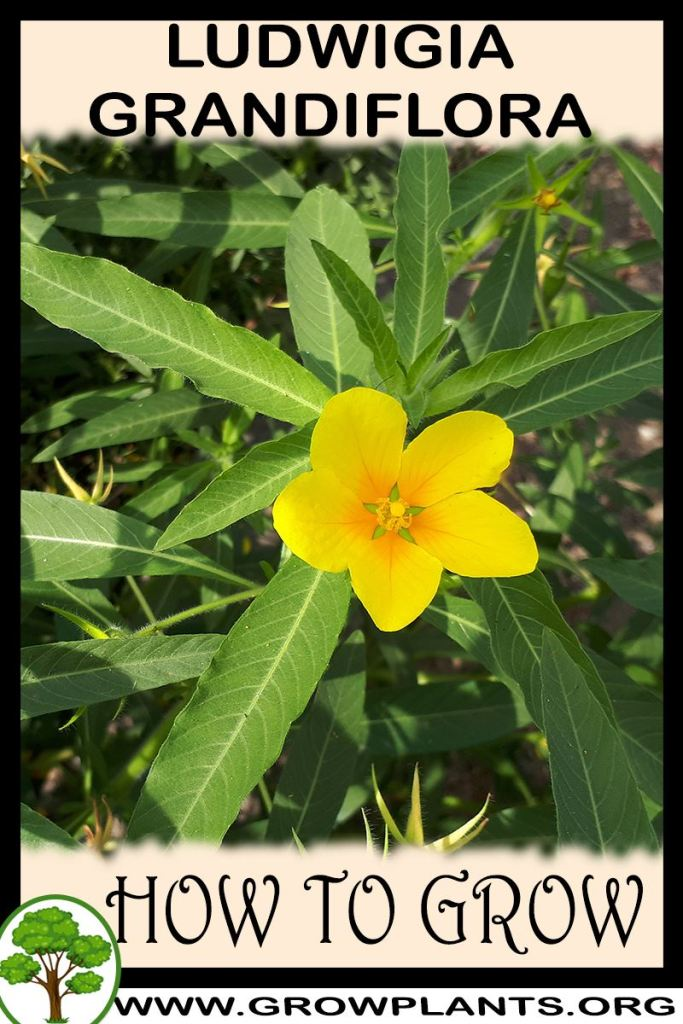 How to grow Ludwigia grandiflora
