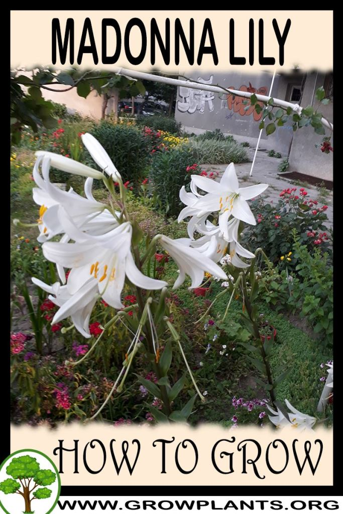 How to grow Madonna Lily
