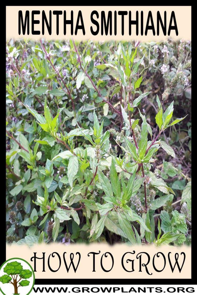 How to grow Mentha smithiana