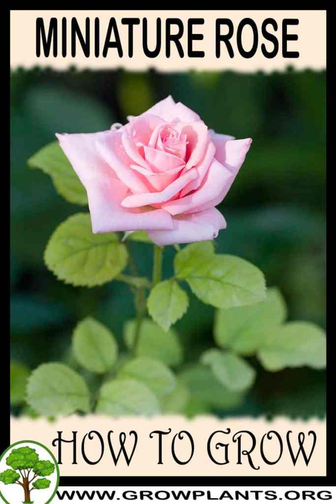 How to grow Miniature rose