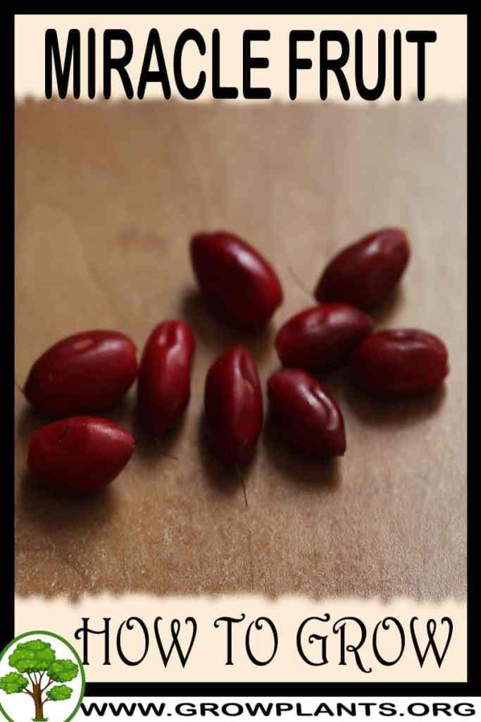 How to grow Miracle fruit