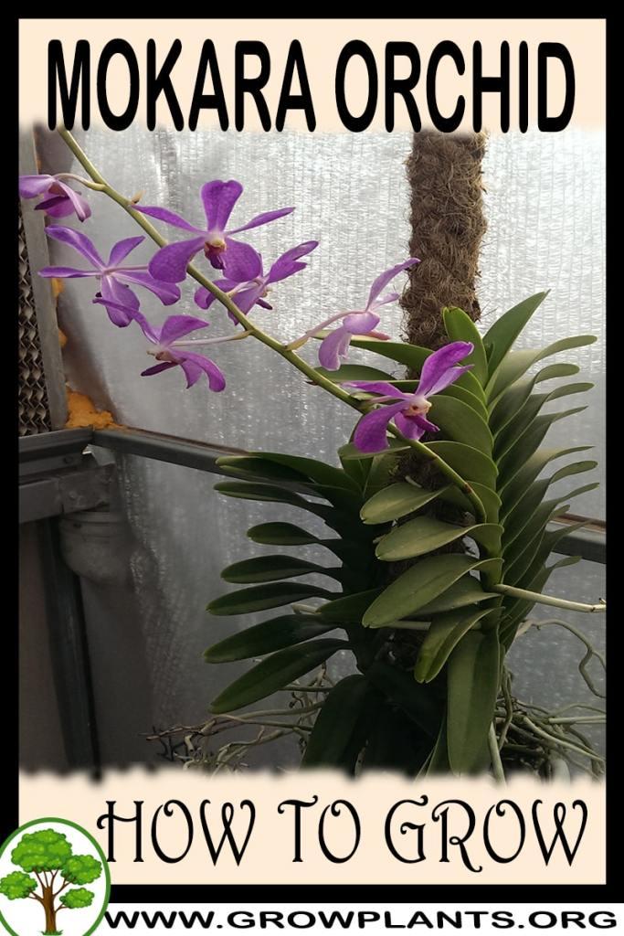 How to grow Mokara orchid