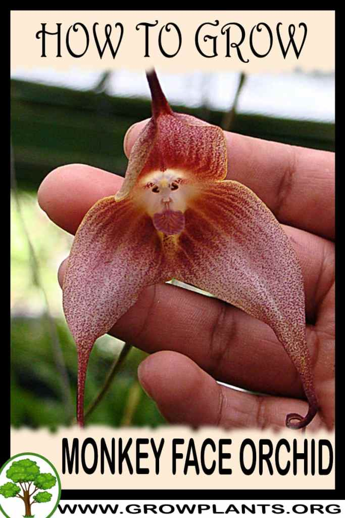 How to grow Monkey face orchid