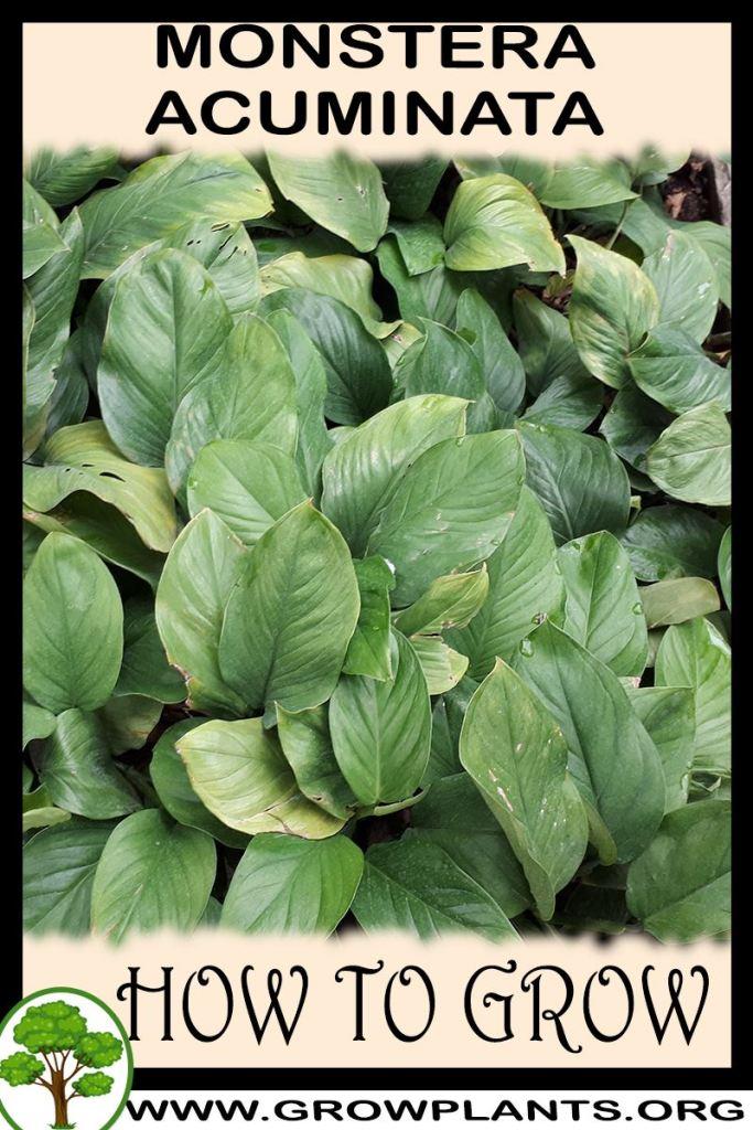 How to grow Monstera acuminata