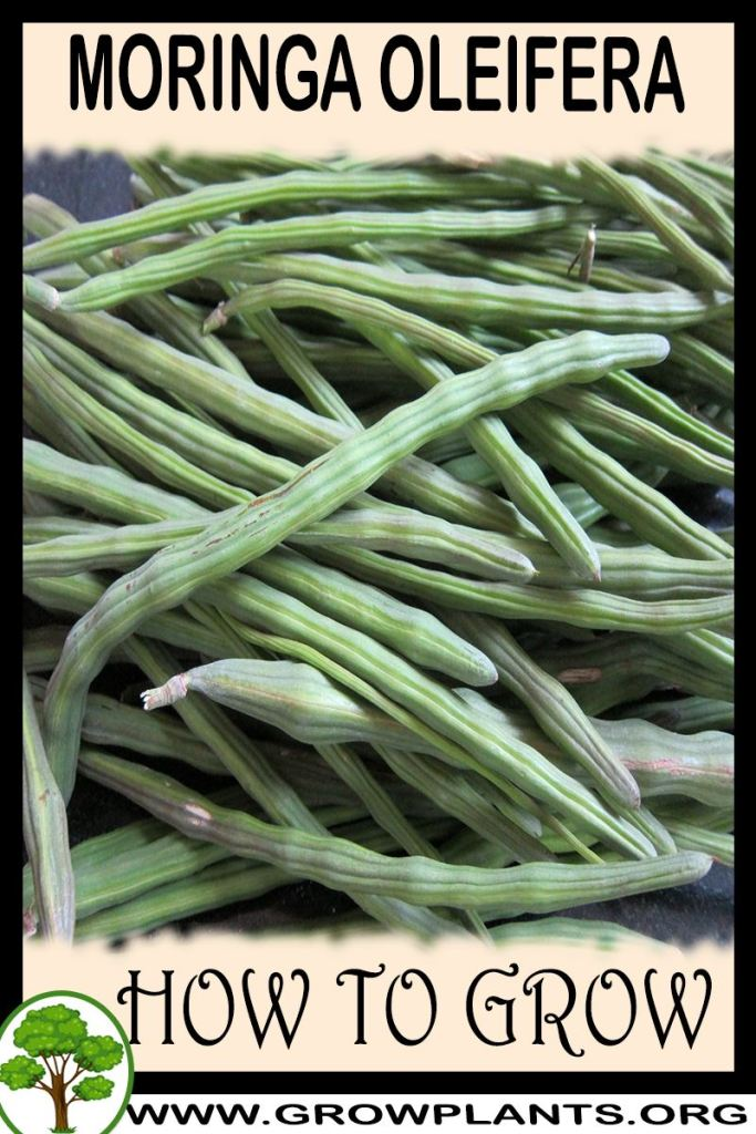 How to grow Moringa oleifera