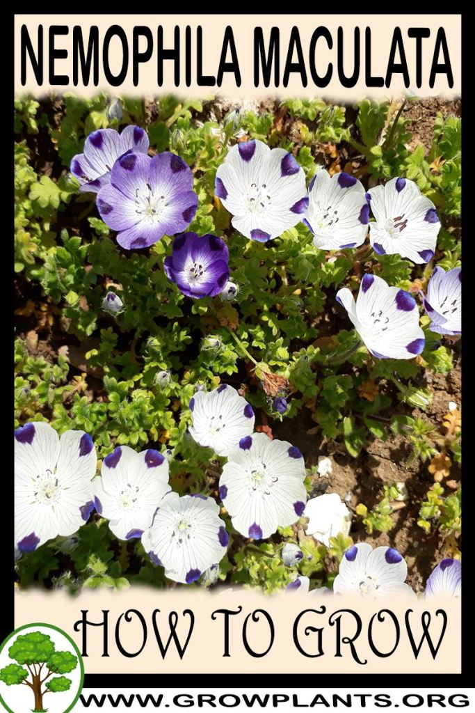How to grow Nemophila maculata