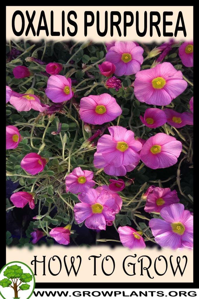 How to grow Oxalis purpurea