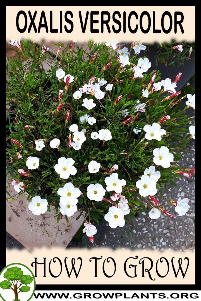 How to grow Oxalis versicolor