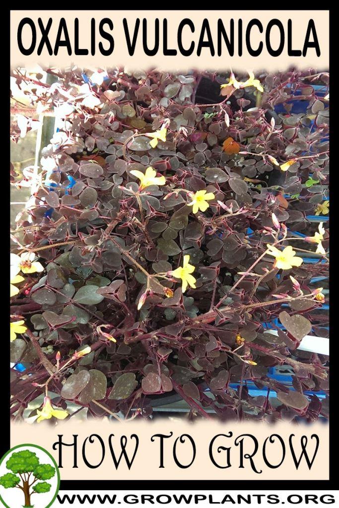 How to grow Oxalis vulcanicola