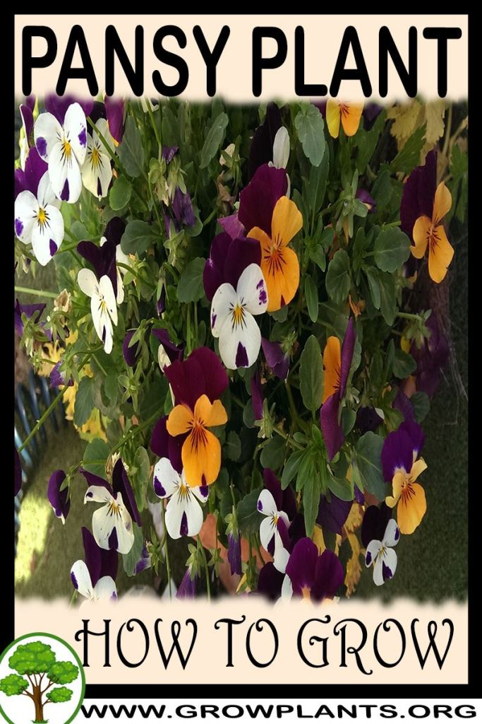 How to grow Pansy
