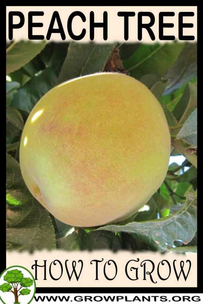 How to grow Peach tree