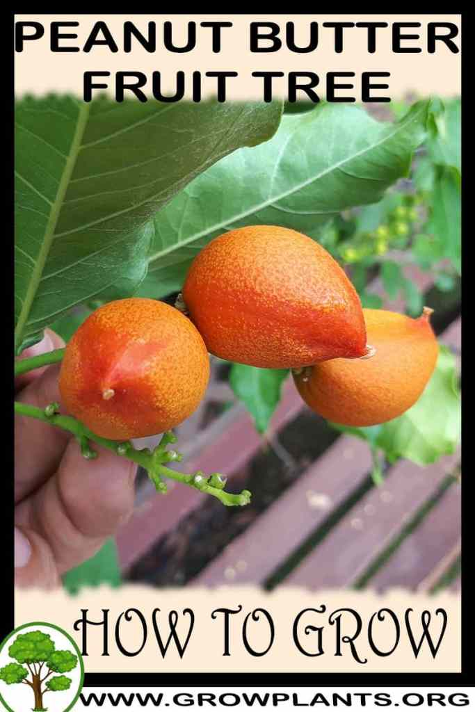 How to grow Peanut Butter Fruit