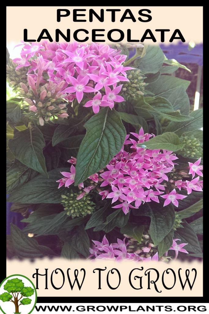 How to grow Pentas lanceolata