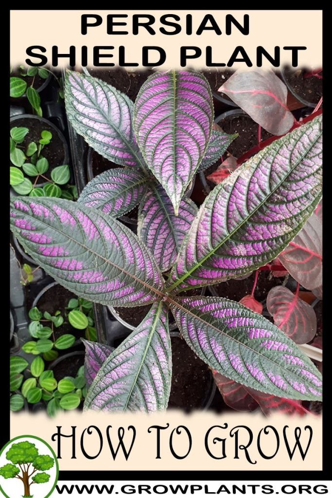 How to grow Persian shield plant
