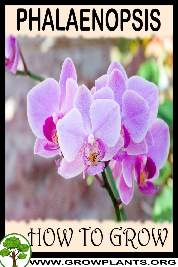 How to grow Phalaenopsis