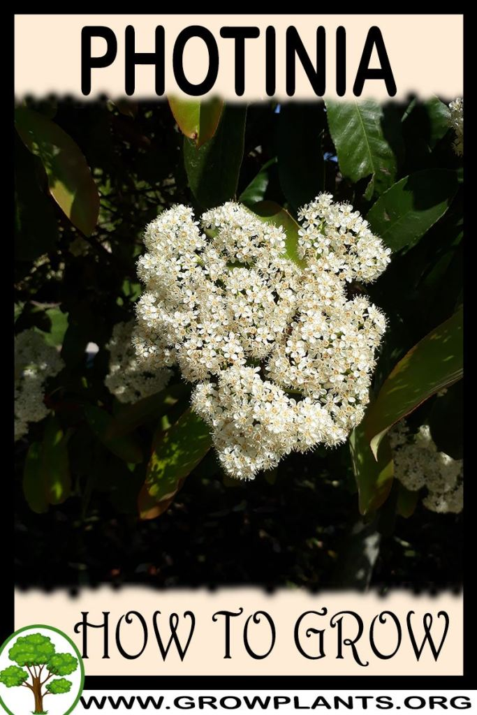 How to grow Photinia