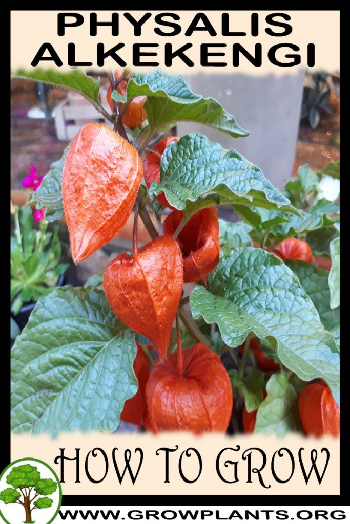 How to grow Physalis alkekengi