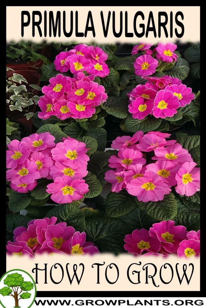 How to grow Primula vulgaris