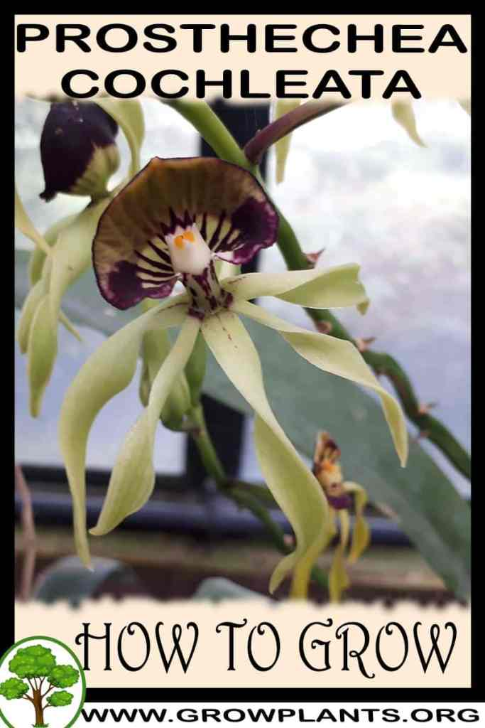 How to grow Prosthechea cochleata