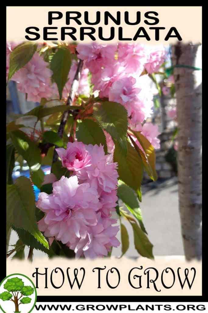 How to grow Prunus serrulata
