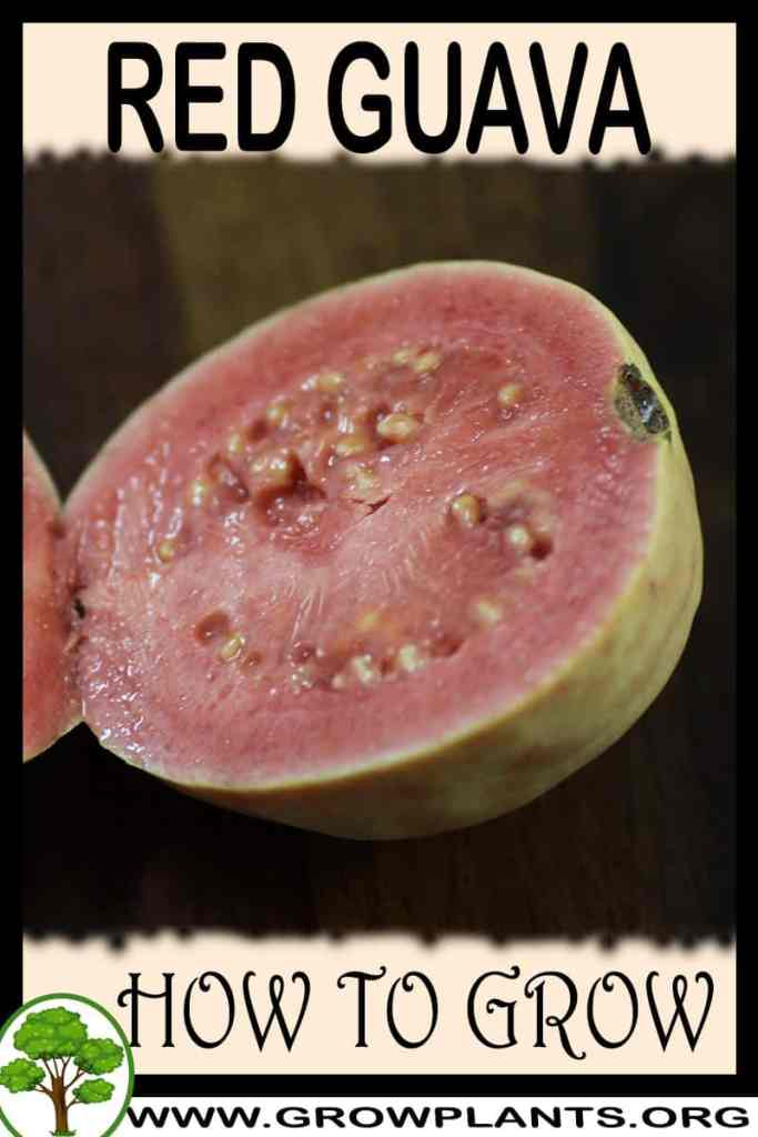 How to grow Red guava