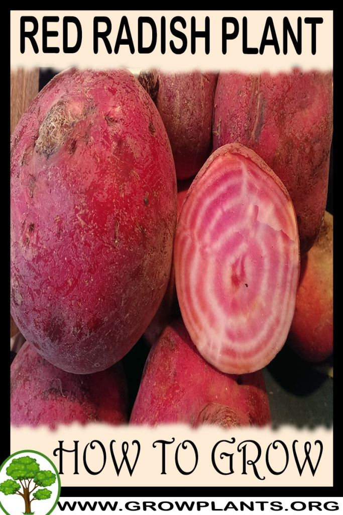 How to grow Red radish plant