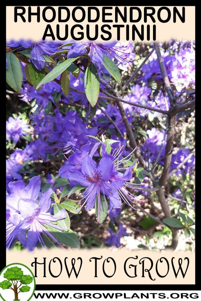 How to grow Rhododendron augustinii