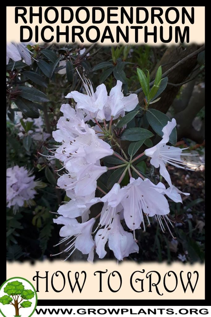 How to grow Rhododendron dichroanthum