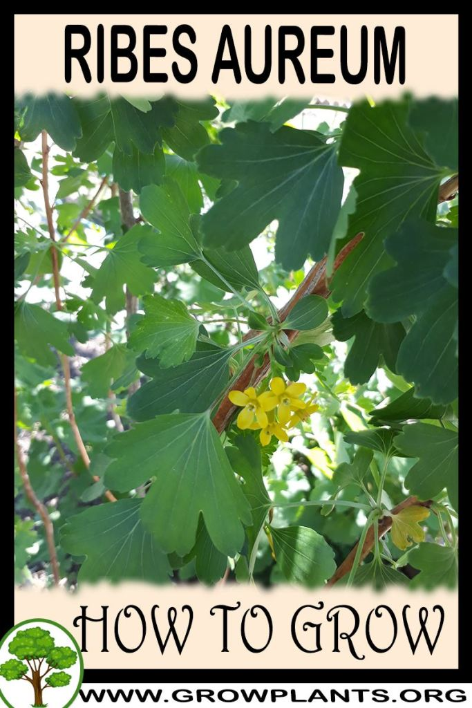How to grow Ribes aureum