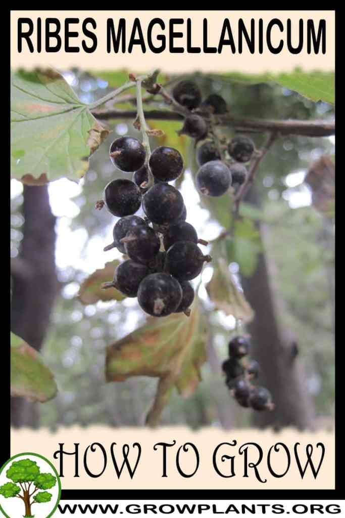 How to grow Ribes magellanicum