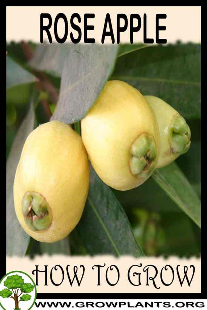 How to grow Rose apple