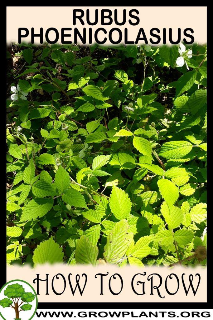How to grow Rubus phoenicolasius