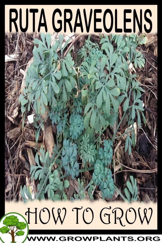 How to grow Ruta graveolens