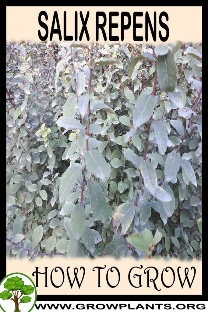 How to grow Salix repens