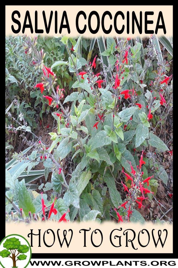 How to grow Salvia coccinea
