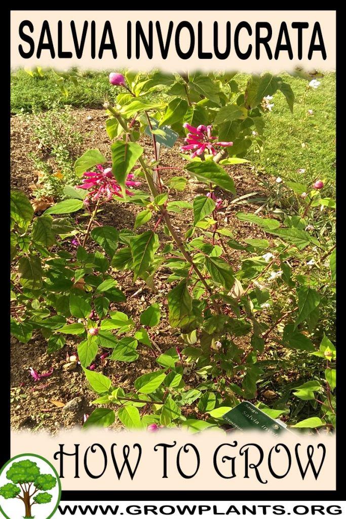 How to grow Salvia involucrata