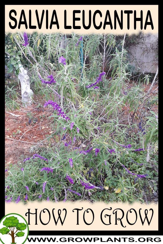 How to grow Salvia leucantha
