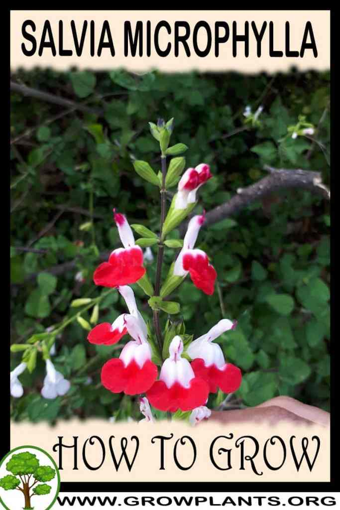 How to grow Salvia microphylla