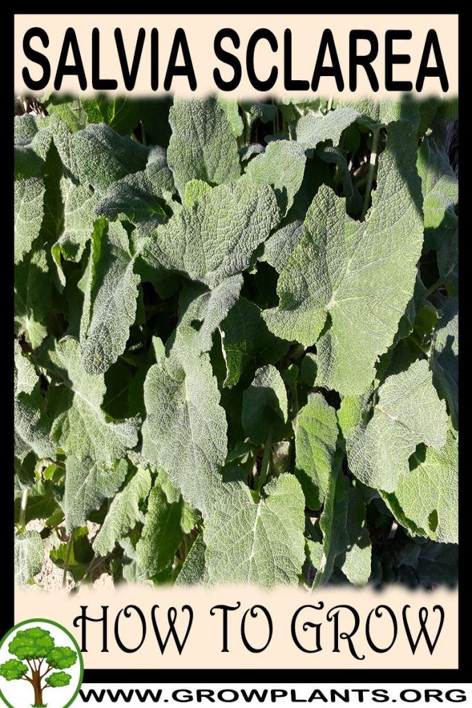 How to grow Salvia sclarea