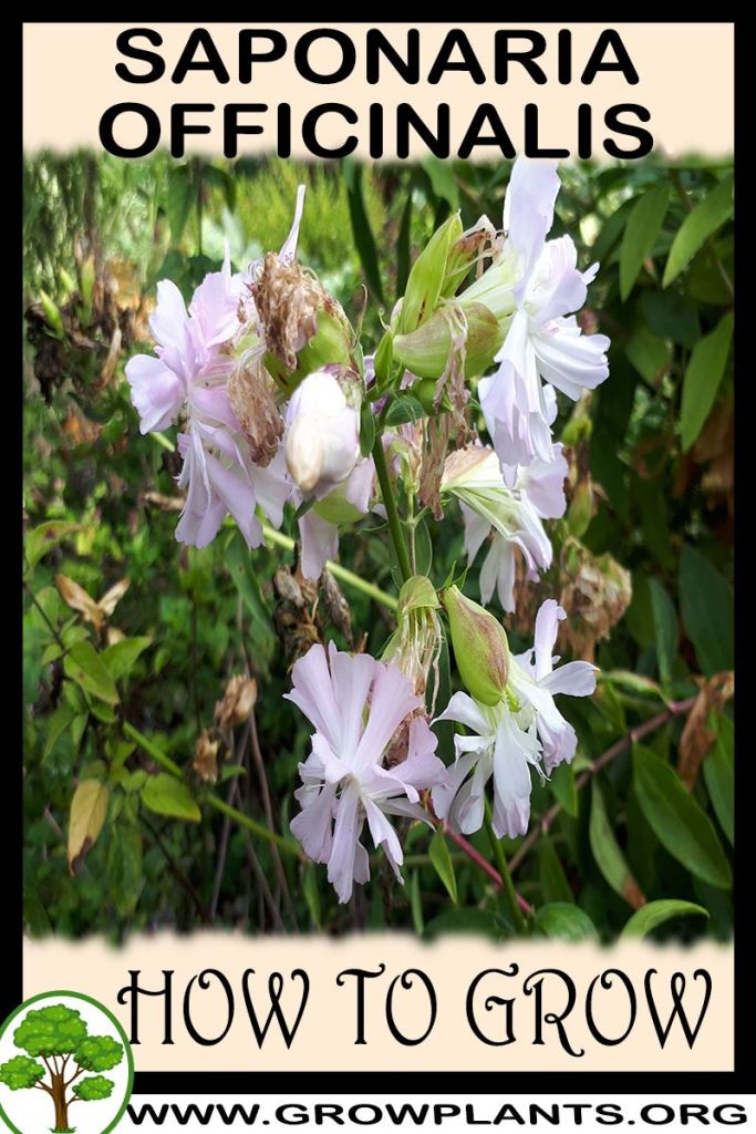 How to grow Saponaria officinalis