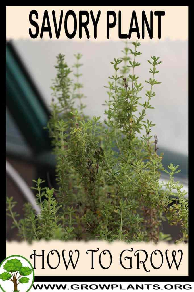 How to grow Savory plant