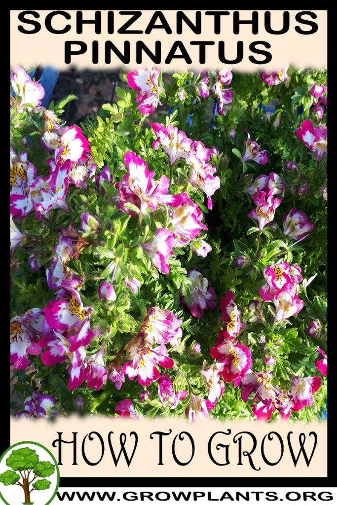 How to grow Schizanthus pinnatus