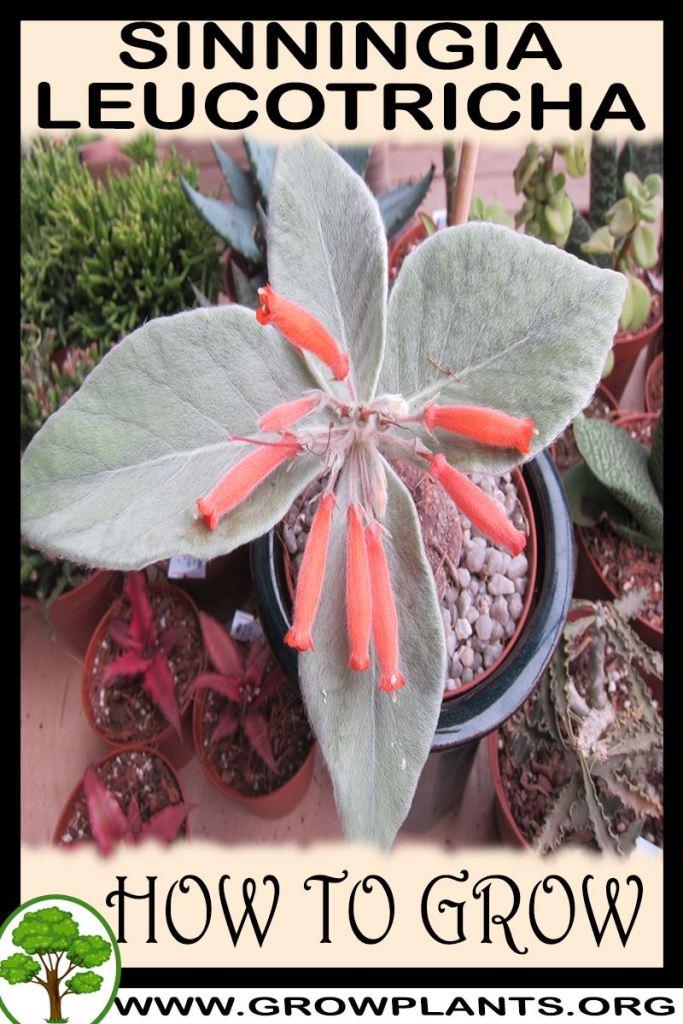 How to grow Sinningia leucotricha