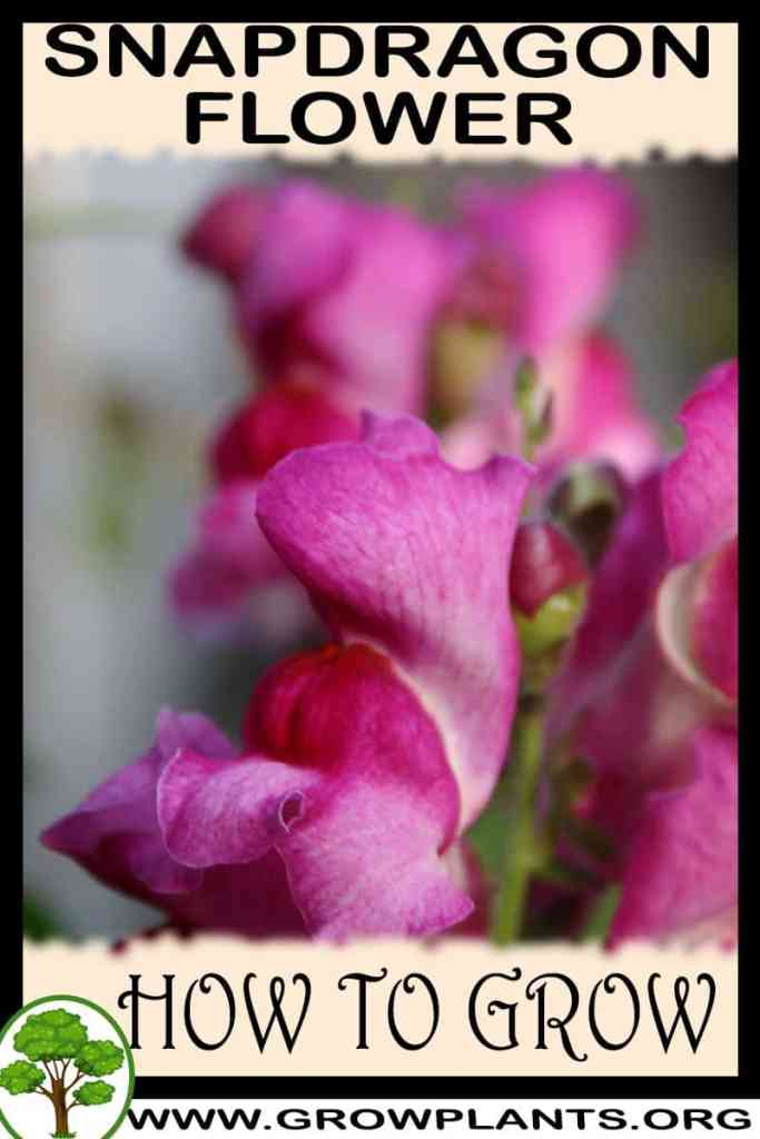 How to grow Snapdragon flower