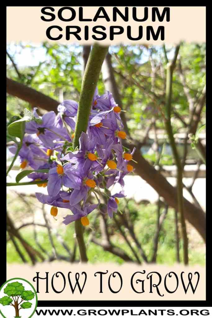 How to grow Solanum crispum