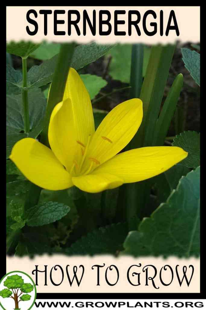 How to grow Sternbergia