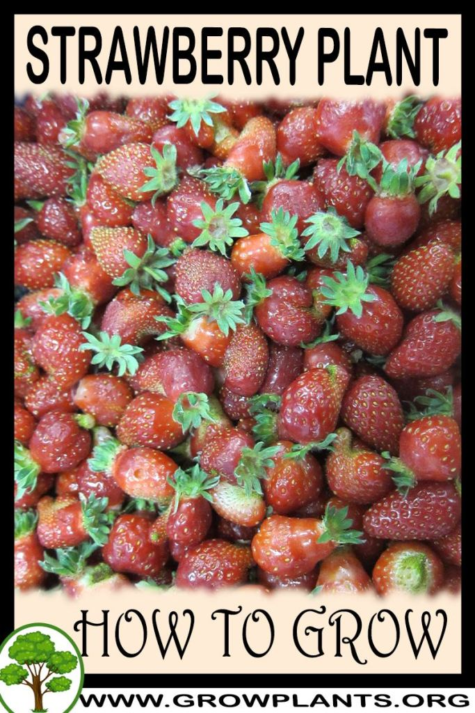 How to grow Strawberry plant