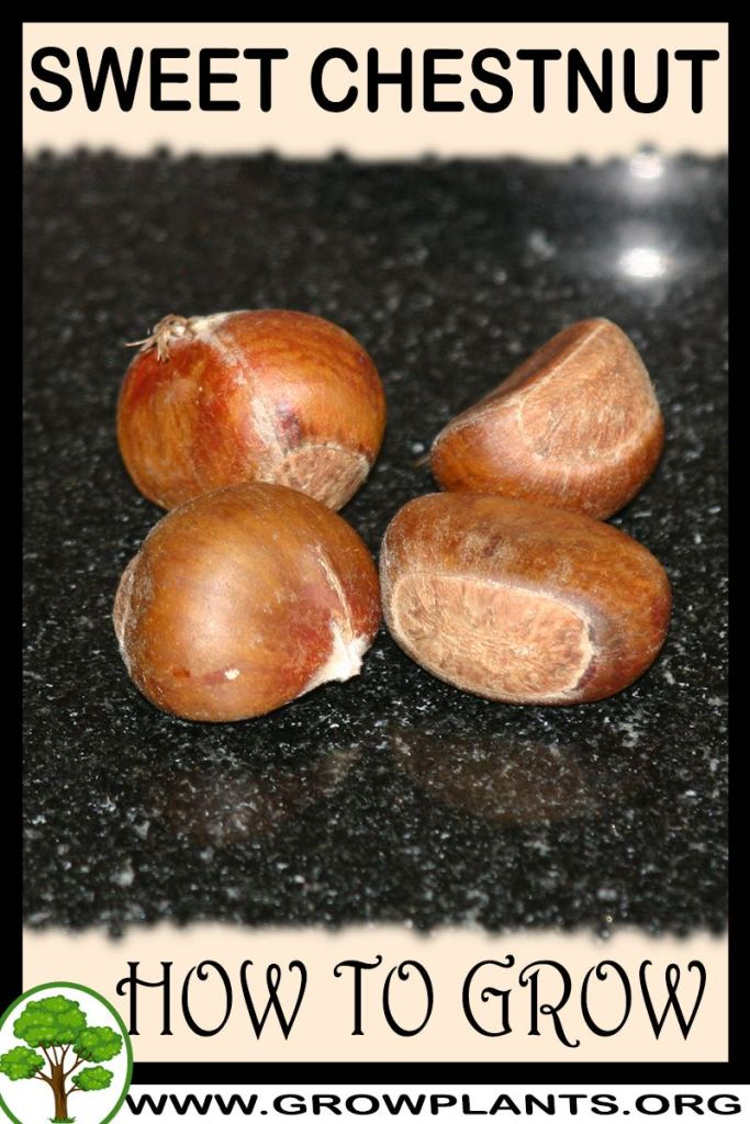 How to grow Sweet chestnut