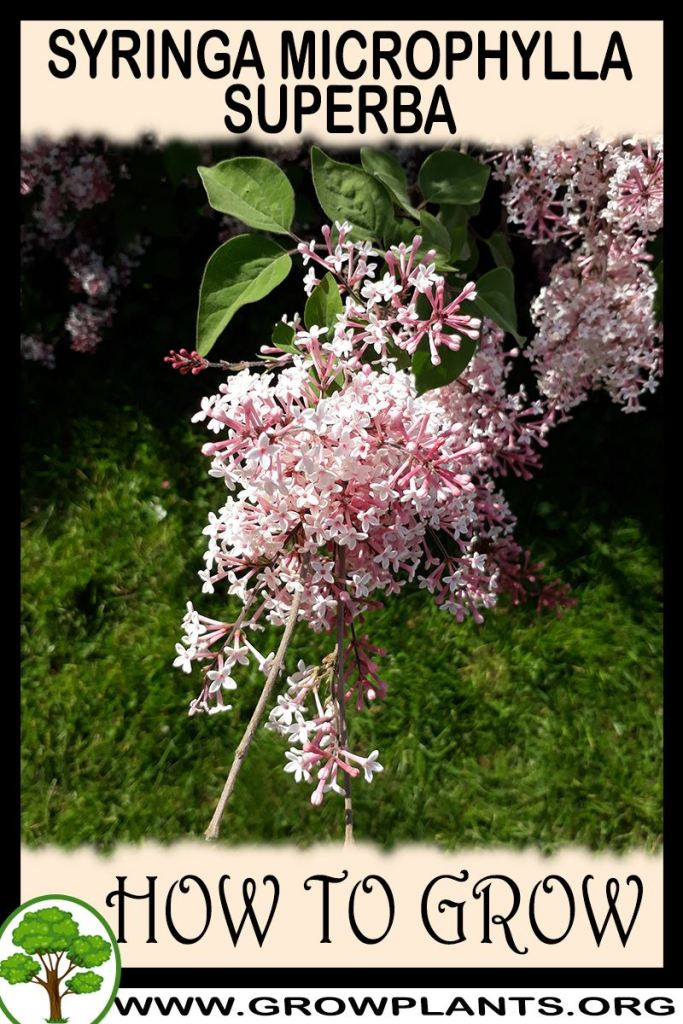 How to grow Syringa microphylla Superba